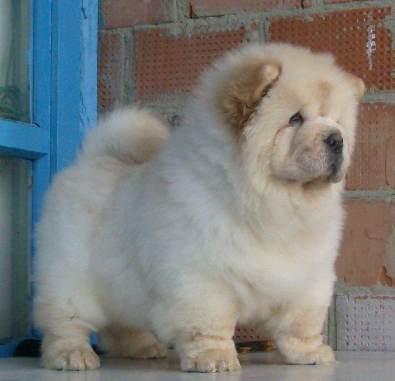 Породы собак фото чау чау